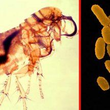 Parts of Arizona Confirmed Flea Plague