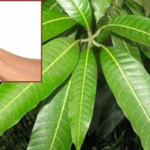 How to Use Mango Leaves to Help Treat Diabetes