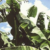 Banana Leaves: From Cooking, to Treating Cuts, Dandruff, and More