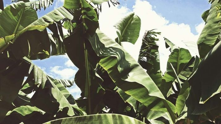 Banana-Leaves-From-Cooking,-to-Treating-Cuts,-Dandruff,-and-More