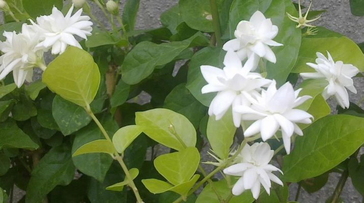 Keep-Jasmine-Plant-in-Your-Room.-It-Reduces-Anxiety,-Panic-Attacks-and-Depression