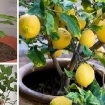 Stop Buying Lemons. Here's How To Grow An Endless Supply of Lemons At Home