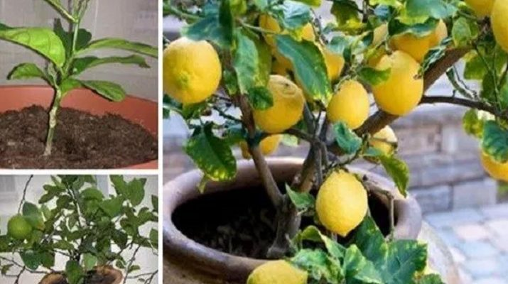 Stop-Buying-Lemons.-Here's-How-To-Grow-An-Endless-Supply-of-Lemons-At-Home