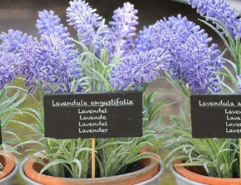 Keep Lavender Plant in Your Bedroom: It Dramatically Improves Sleep, Reduces Anxiety, Depression and Panic Attacks