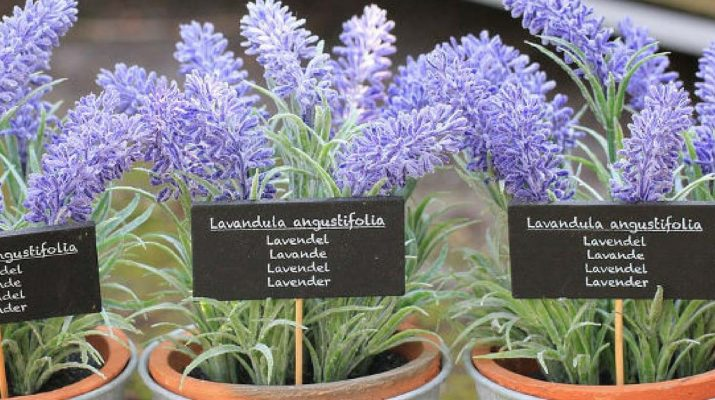 Keep-Lavender-Plant-in-Your-Bedroom-It-Dramatically-Improves-Sleep,-Reduces-Anxiety,-Depression-and-Panic-Attacks