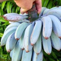 Blue Java Banana: The Banana That Tastes 'Just Like Vanilla Ice Cream'